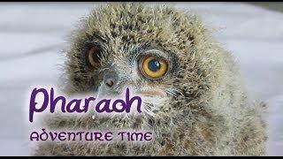 Pharaoh the eagle owl - Adventure Time
