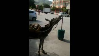 Repeat youtube video el burro gay