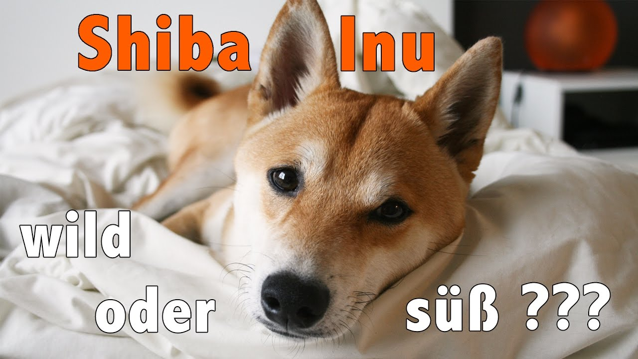 ist ein shiba inu der richtige hund f r dich finde es heraus youtube. Black Bedroom Furniture Sets. Home Design Ideas