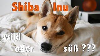 Ist ein SHIBA INU der richtige Hund für DICH? Finde es heraus!