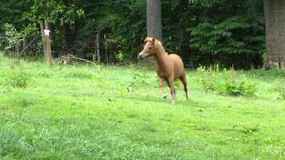 Lucky Four Adozen Red Roses MINIATURE HORSE Mare FOR SALE