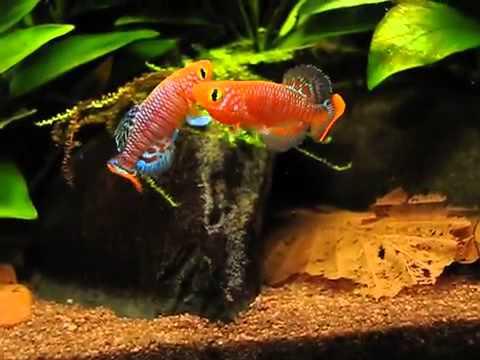 8 окт 2015. 2-4 october. Икромечущие карпозубые, или «килли» – это небольшие аквариумные рыбки необыкновенной красоты. На выставке были.