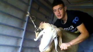 pitbull with all photo to merrouchi alaa dine (06) béjaia