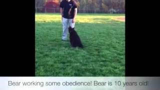 """bear"" Doing Obedience! Dog Training, Virginia"