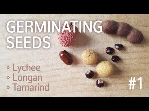 Germinating Lychee, Longan And Tamarind Seeds #1 | Germinating Fruit Seeds - 25.12.2016