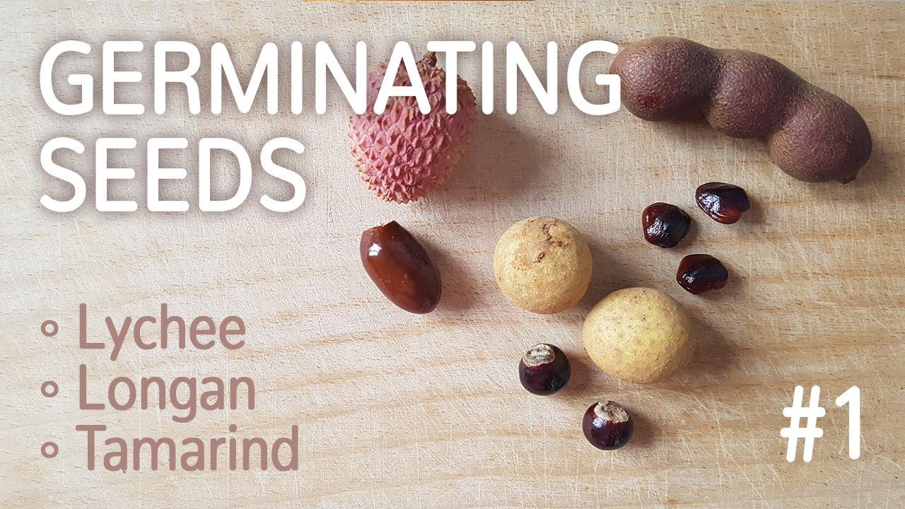 Germinating Lychee Longan And Tamarind Seeds 1 Fruit 25 12 2016