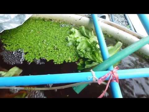 Aquaponics: Feeding Tilapia with the leftover salad from the market