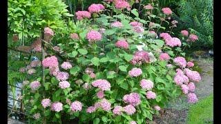 Hydrangea arborescens 'Invincibelle' video