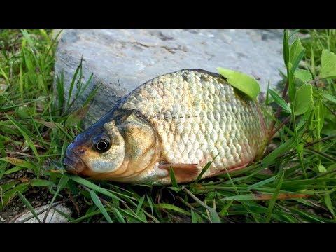 Ловля карпа летом - Рыбалка видео - Подсекай - Семёныч