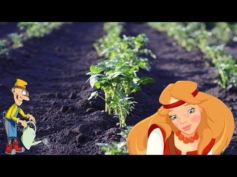Как правильно сажать картошку на какую глубину и на каком расстояние | расстоянии | картофель | глубину | сажать | лопату | какую | каком | под | на | с