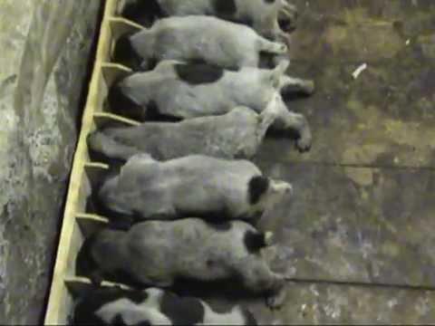 фото дратхаара щенки