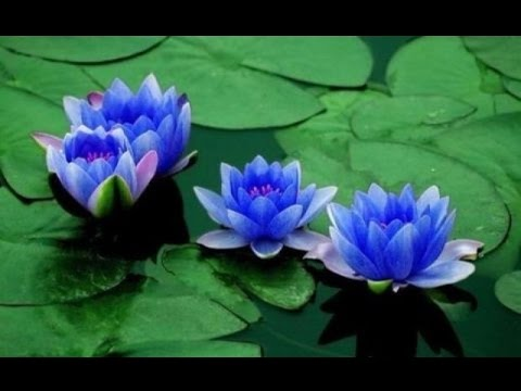 Blue lotus and cannabis experiencereview youtube blue lotus and cannabis experiencereview mightylinksfo