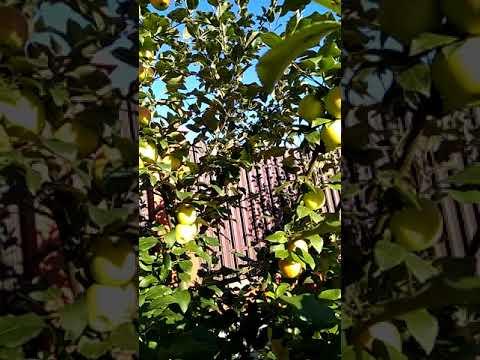 Обзор яблони сорта Целесте .