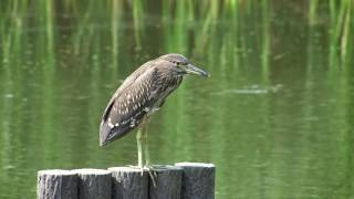 ゴイサギ幼鳥 Black-crowned night heron