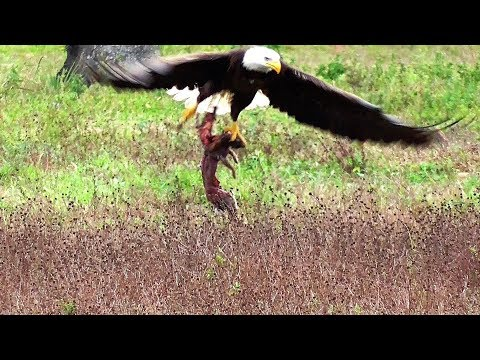 SWFL Eagles_Team H & M Get The Rabbit Home By Awesome Strength & Determination 02-15-18