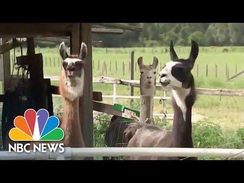 How Llamas Are Helping Create Antibody Treatment For Coronavirus | NBC News NOW