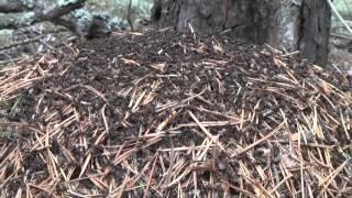 Муравейник. Лесные муравьи работяги