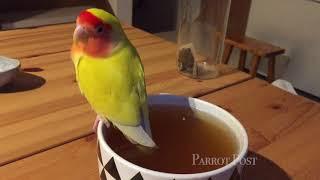 しっぽ、しっぽ!紅茶にちゃぷんと尻尾を入れる鳥