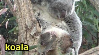 埼玉県こども動物自然公園のコアラ、ジンベランとお腹の袋から顔をだす...
