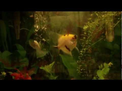 I_love_you_angel_fish.MP4