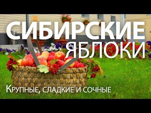 Вопрос: Какие сорта яблони районированы в Челябинской области?