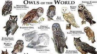 Daftar 3 Burung Hantu Paling Langka