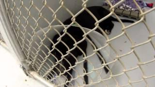 Sad Shelter Pup With Cone Collar - Svasc (lab Mix)