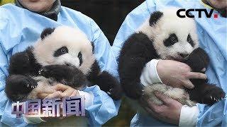 """[中国新闻] 旅比大熊猫双胞胎""""宝弟""""和""""宝妹""""获""""年度熊猫幼仔奖""""金奖   CCTV中文国际"""