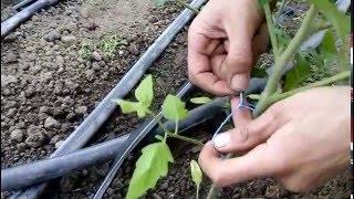 Как подвязывать помидоры. Подвязка растений томата в теплице(, 2016-03-03T15:08:25.000Z)