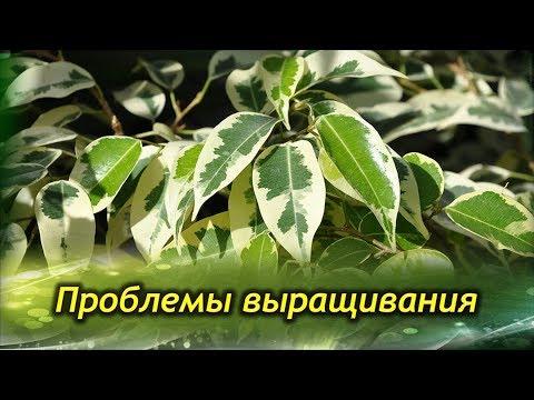 ФИКУС БЕНДЖАМИНА  сбрасывает листья. Проблемы выращивания и их решения.