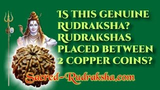 Is this genuine Rudraksha? Rudrakshas placed between 2 copper coins.