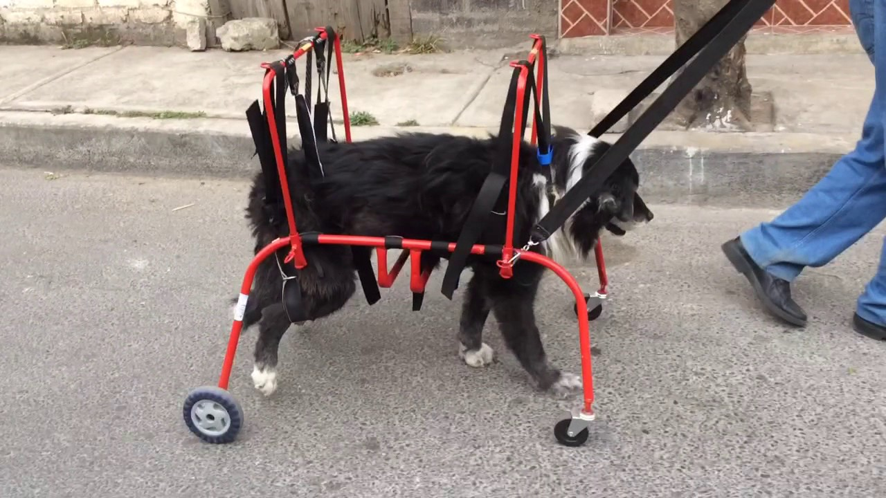 Perro en sillas de ruedas para perros discapacitados www for Sillas para viejitos