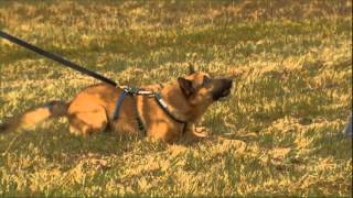 Dog Training Introduction Video Glen Ramcharan  Team-k9