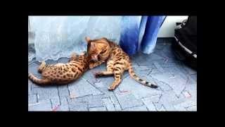 Бенгальские кошки купить.Bengal cats in love.