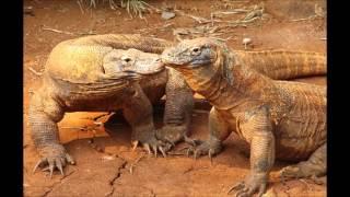 Драконы острова Комодо - The dragons of Komodo