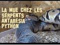 La mue des serpents , mauvaise mue , donnez un bain à son python