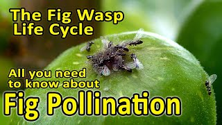 Fig Pollination and Fig Wasp Life Cycle (Blastophaga psenes) - All you need to know.