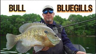 Catching GIANT Spawning Bluegills