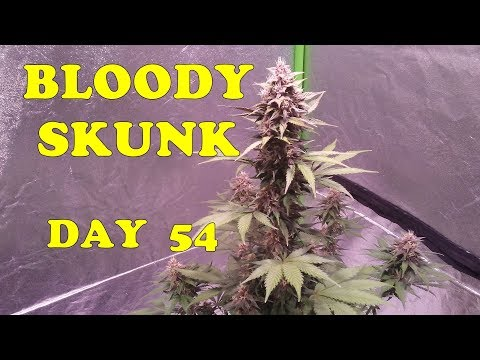 bloody-skunk-autoflower-~-checking-trichomes-on-day-54