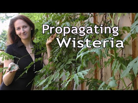 Propagating Wisteria: How to Grow a Beautiful Garden with Scarlett