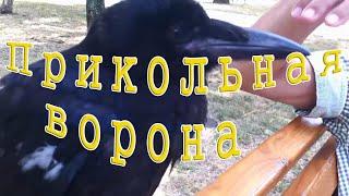 Прикольная ворона - Funny crow