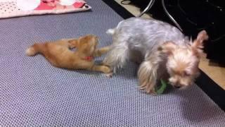 犬と猫で猫じゃらしを奪い合います。最後に勝つのはどちらでしょうか⁇