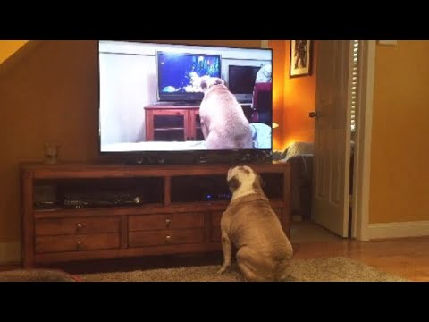 Bulldog Watches Viral Video Of Herself, Her Reaction....Priceless!