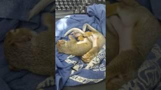 Grey Squirrels about 4 weeks sleeping.