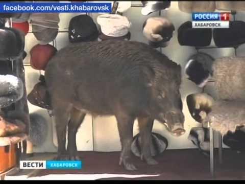 Вести-Хабаровск. Незванный гость