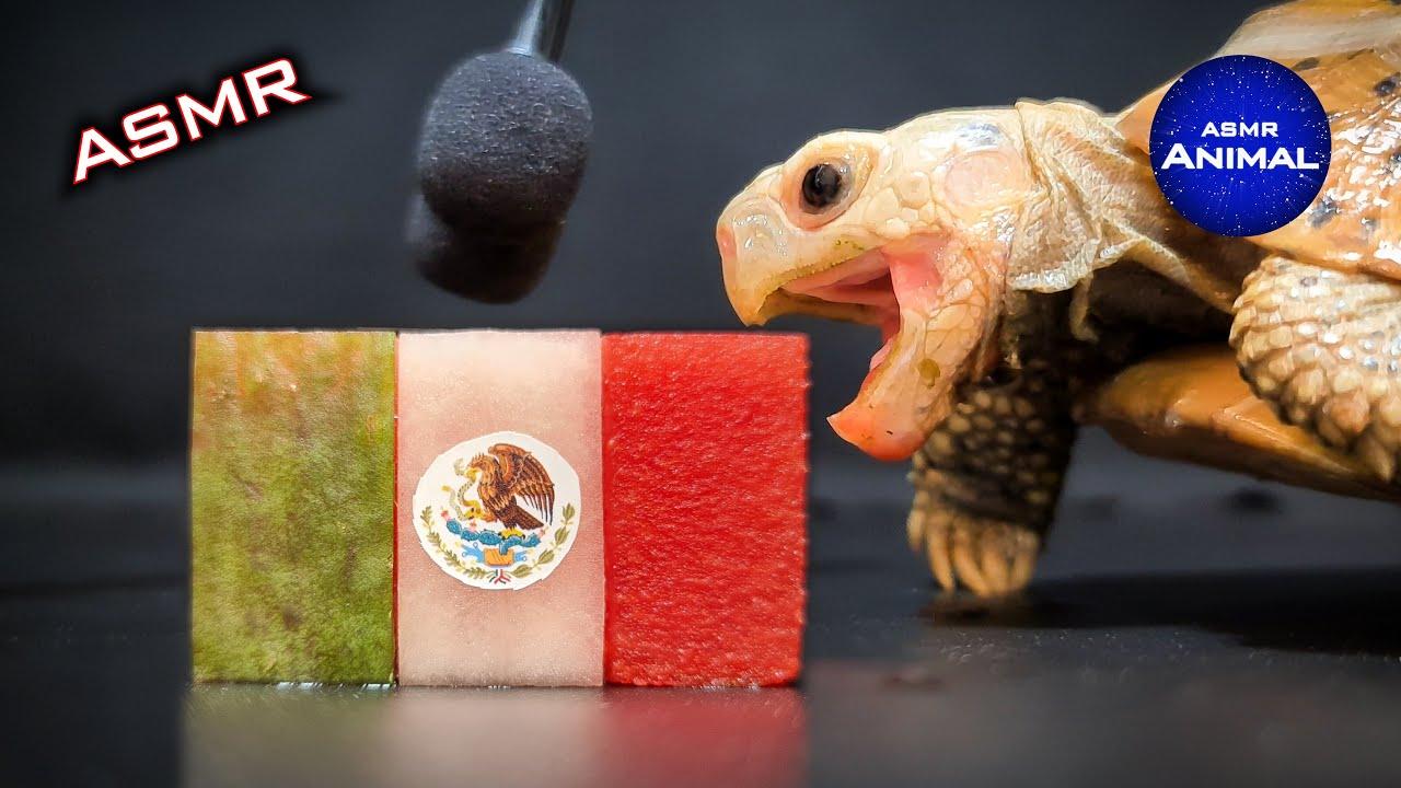 Mexico ASMR Mukbang Cute Turtle Tortoise Eating Food Fruit Vegetable 108  | Animal ASMR