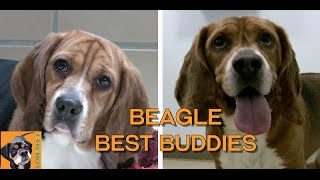 Beagle Best Friends: Adorable Beagle Buddies at Northeast Animal Shelter