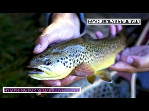 Fly Fishing Wild Brown Trout On Cache La Poudre River