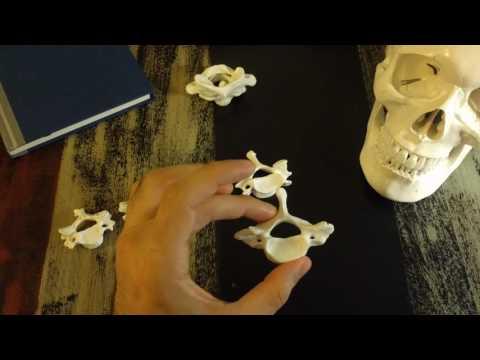 Cervical vertebrae - C3 to C7 - basic anatomy