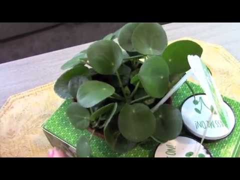 Finally Finding Pilea Peperomioides Locally